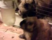 ODDAM -Miniaturowe kłapouchy- króliczki madagaskarskie