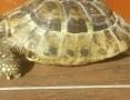 żółw stepowy ,  śląskie Sosnowiec