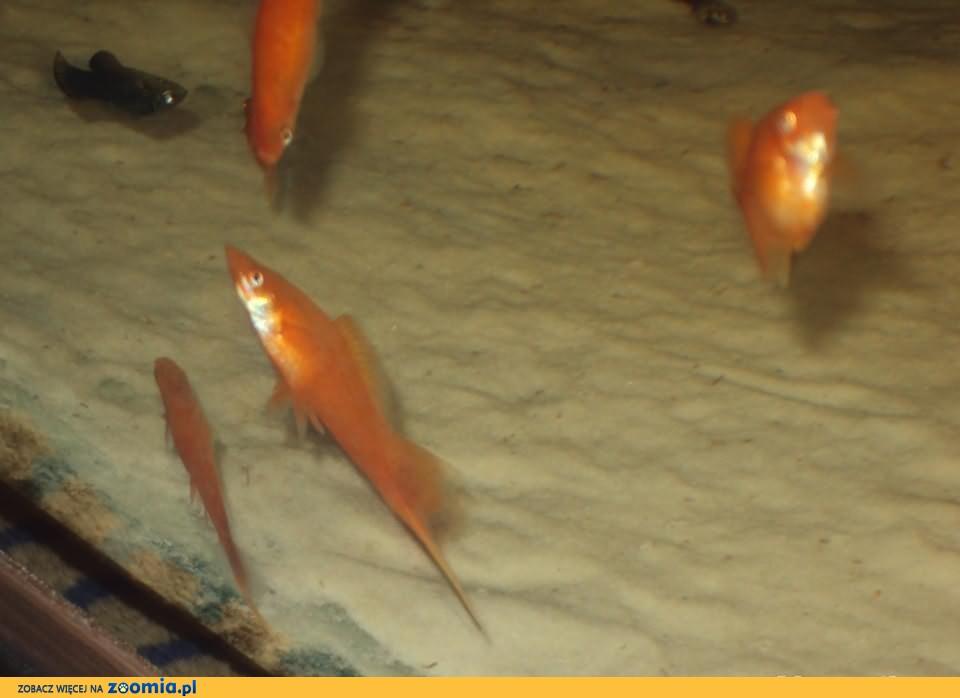 Mieczyk czerwony 6-7cm Frontosa Pruszków