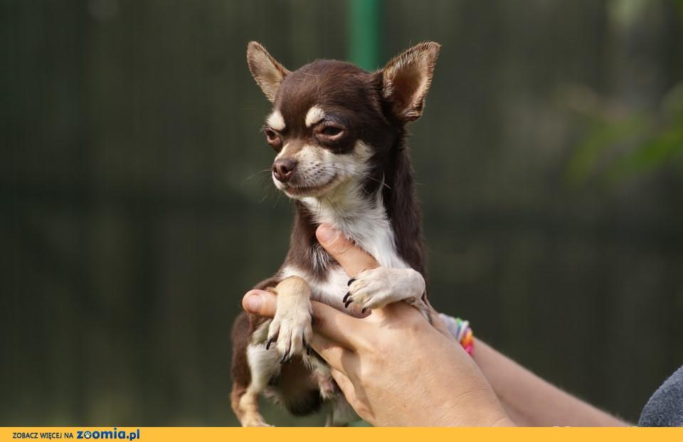 chihuahua chłopczyk