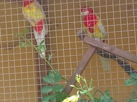 Papugi rozelie bialolice para