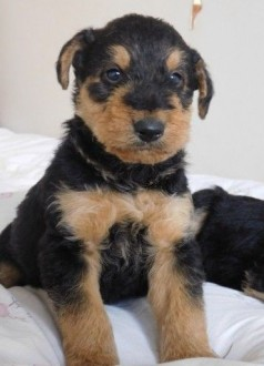 Zarejestrowany Airedale Terrier