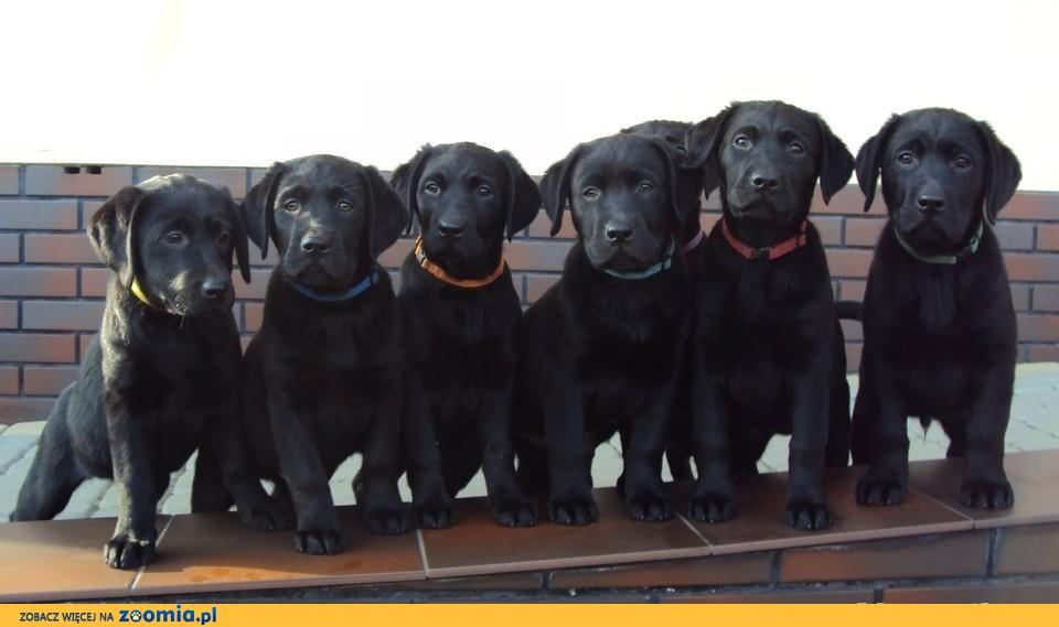 Labrador, Labradory z rodowodem ZKwP FCI