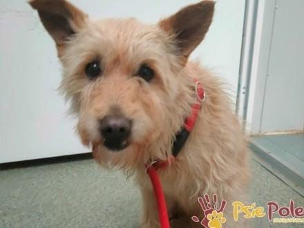 BRZOSKWINEK-śliczny  kochany szorstkowłosy psiak szuka domu  adopcja