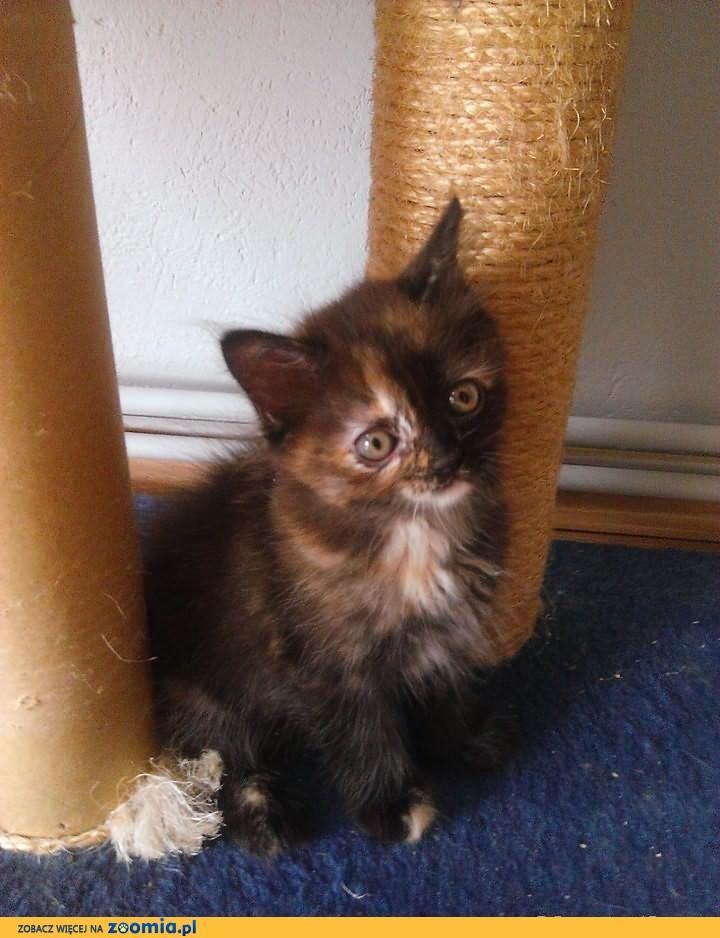 Koteczka Dasza z Północnego Jaru*Pl