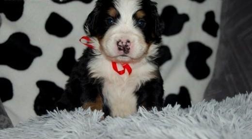 Berneński pies pasterski - Mamy szczeniaczki!! :)    śląskie Częstochowa