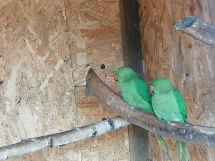 Papuga aleksandretta samice 2020