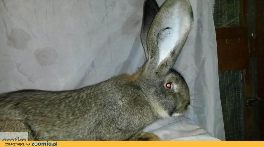 króliki belgijskie samiczki samczyki BOS