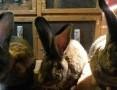 'króliki belgijskie samiczki samczyki BOS