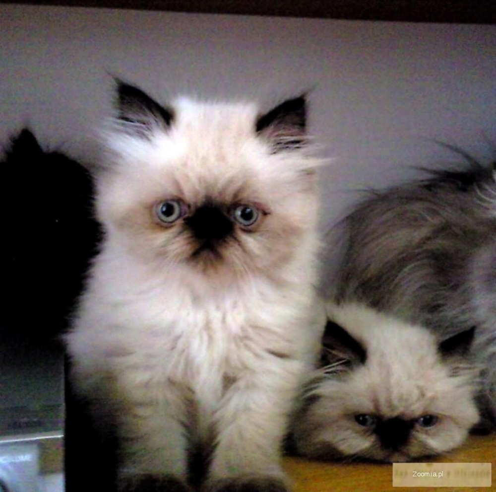 Wspaniały Kot Perski Miniaturka Cena AB41