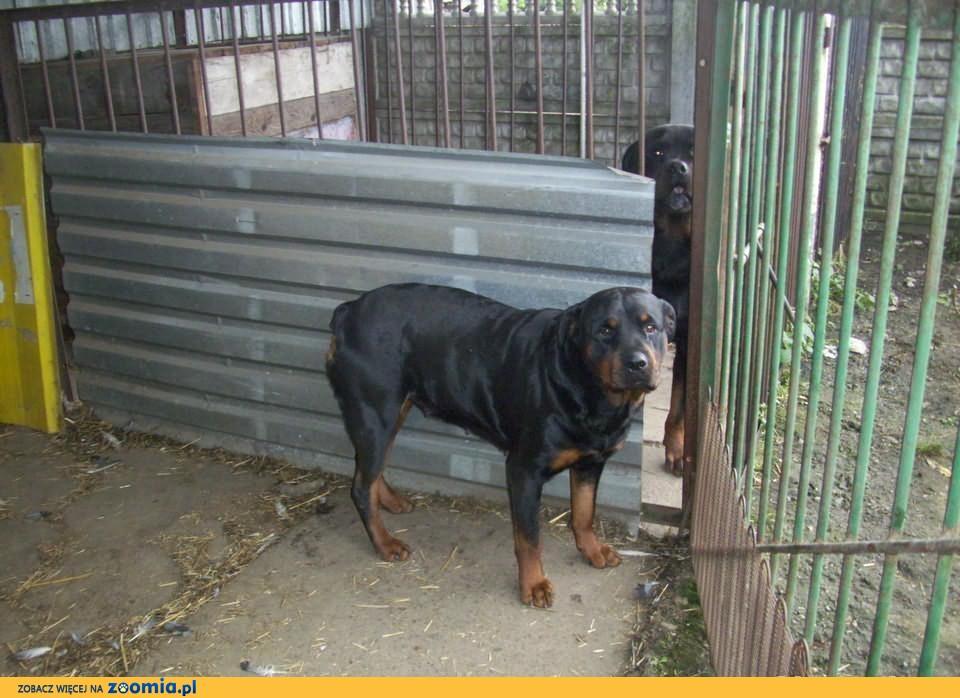 2,5 letnia suka rasy Rottweiler z rodowodem