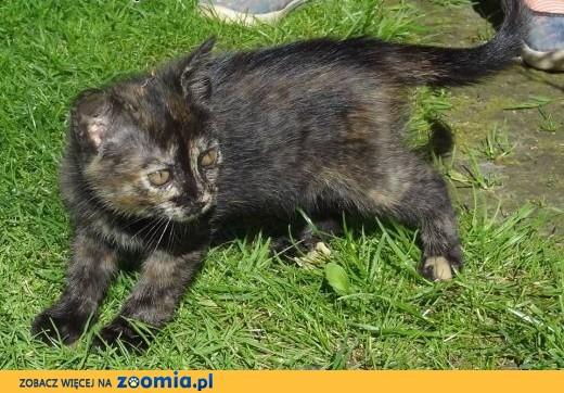 Oddamy w dobre ręce kotki,  małopolskie Andrychów