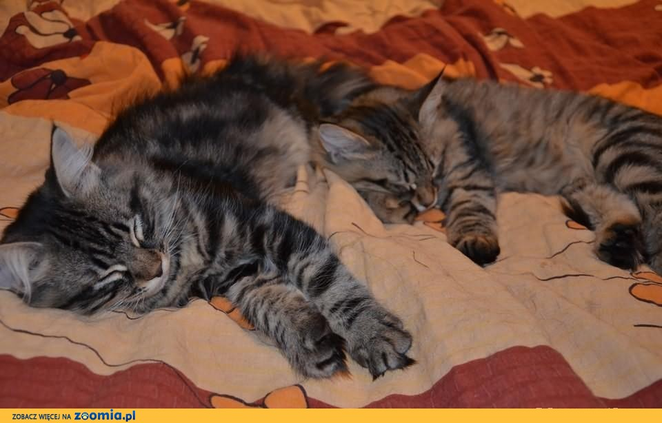 Śliczne kocięta syberyjskie