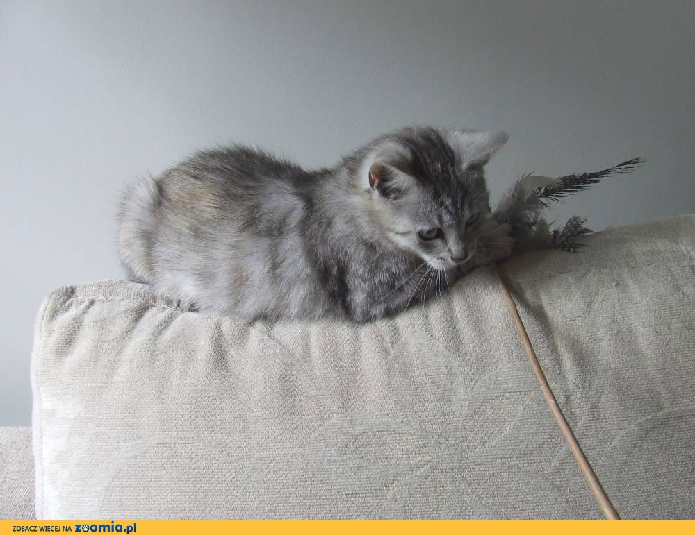 Koteczka Silverka szuka domu