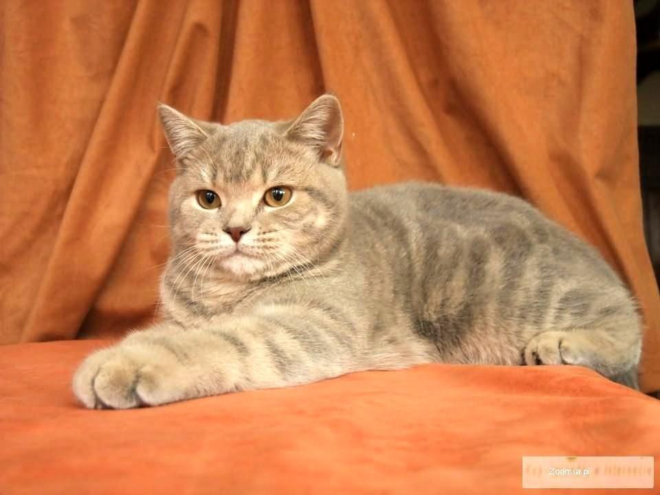 Jedyne Kocięta Brytyjskie W Kolorze Liliowym Wyzłocone Pręgowane