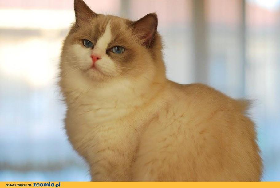 Dorosła kotka Ragdoll