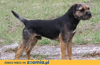 border terrier- samiec 9miesięcy- import