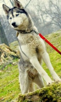 Queeni - młodziutka husky do adopcji   mazowieckie Warszawa