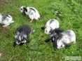 króliki barany francuskie