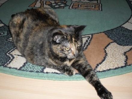 Piękna kotka Lola szuka domu
