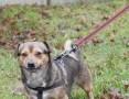 Piegus, radosny, niewielki psiak szuka domu!