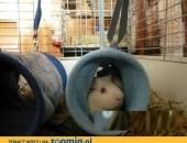Iker i Pako - urocze świnki do adopcji