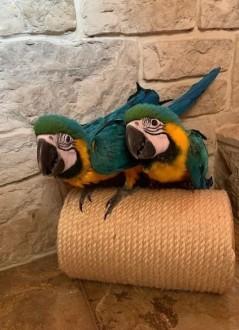 papugi : ara ararauna - ręcznie karmiony
