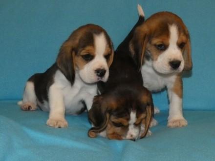 Beagle wyjatkowej urody super rodowod FCI
