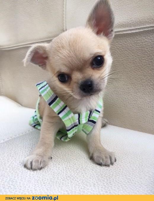 Chihuahua miniaturka,  rodowód ZKwP/FCI, urocze szczeniaczki, o imieniu SPIDI szczeniaczek, szczenia,  łódzkie Łódź