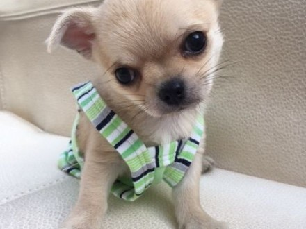 Chihuahua miniaturka   rodowód ZKwP/FCI  urocze szczeniaczki  o imieniu SPIDI szczeniaczek  szczenia   łódzkie Łódź