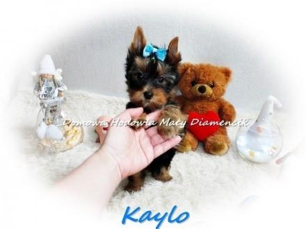 Yorkshire Terrier Miniaturka XS! piesek KAYLO MINI szczeniaczek Rodowód+Wyprawka