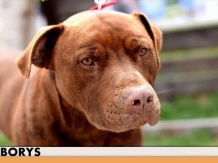 BORYS pitbull młody łagodny energiczny pies do adopcji   małopolskie Kraków