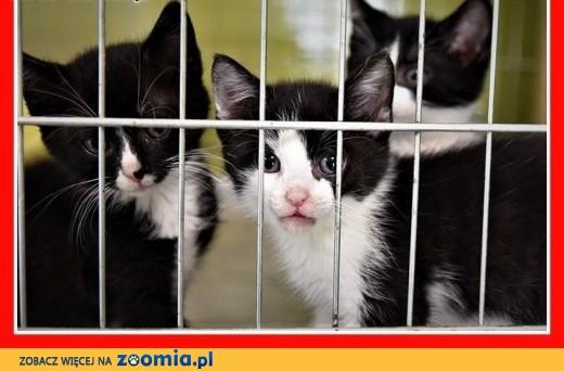 PILNE. Schroniskowe kocięta o różnym umaszczeniu bardzo potrzebują domów.,  śląskie Katowice