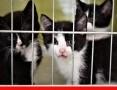 'PILNE. Schroniskowe kocięta o różnym umaszczeniu bardzo potrzebują domów.,  śląskie Katowice