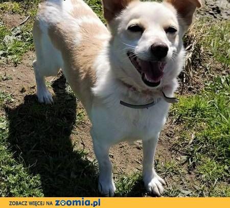 RAMBO – wrażliwy, malutki, 6 kg psiak; szuka domu,  małopolskie Kraków
