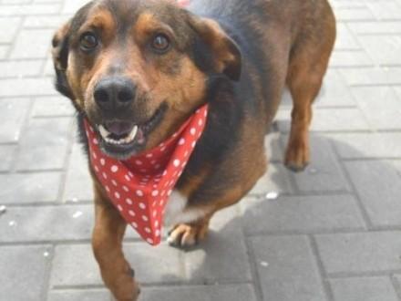 Domowy Misio  grzeczny  nakolankowy psiak do adopcji   Kundelki cała Polska