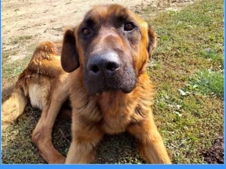 Zjawiskowy LEON spokojny mądry duży pies w typie leonbergeraPILNA ADOPCJA!   wielkopolskie Poznań