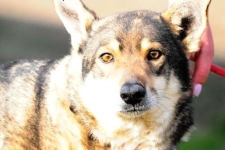 Bardzo grzeczny  miły i spokojny  kochany psiak Peri - adopcja   małopolskie Kraków