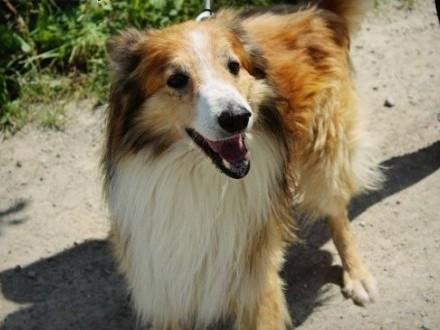 Klakson-pies w typie owczarka szkockiego collie szuka domu!   podkarpackie Przemyśl