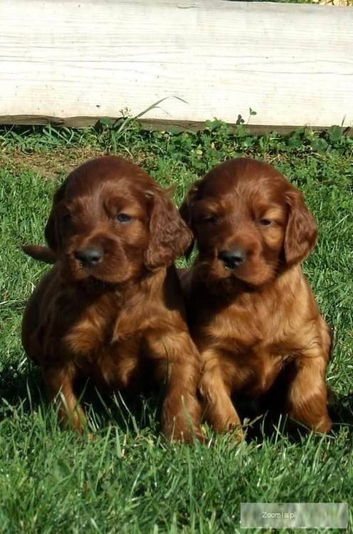 Bardzo dobra seter irlandzki - śliczne szczeniaki « Irish Setter « Dogs PP31