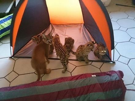 Piękne sawanny - serval - Caracal i Bengalu kociąt na sprzedaż