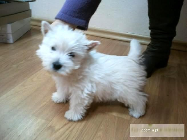 West Highland White Terrier, Westy, Westie, szczeniaki