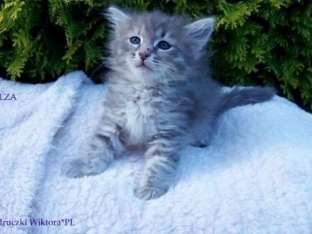 Koteczka syberyjska ELZA z rodowodem WCF   śląskie Częstochowa