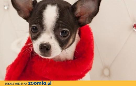 Chihuahua o imieniu Koral,  rodowód ZKwP/FCI, maleńki szczeniaczek,  łódzkie Łódź
