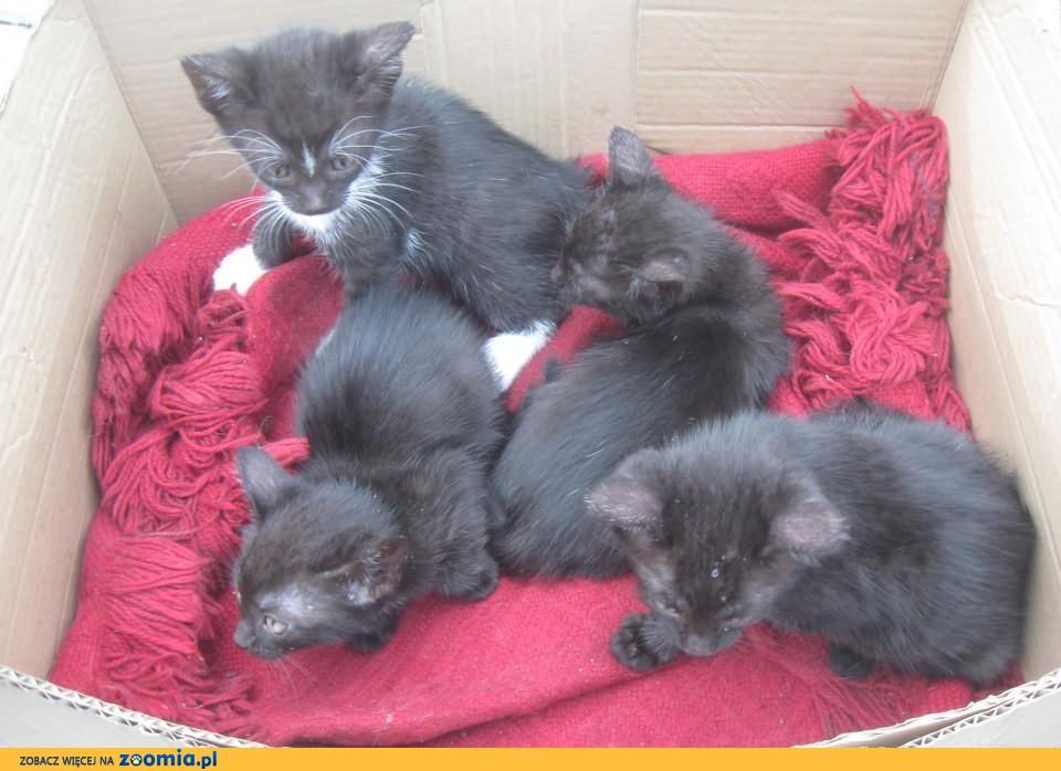 7 tygodniowe kocięta do oddania