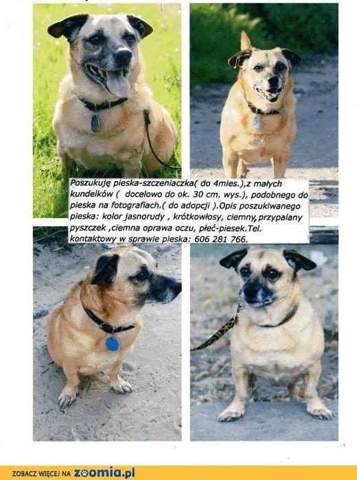 poszukiwanie pieska- szczeniaczka,  Przygarnę psa cała Polska
