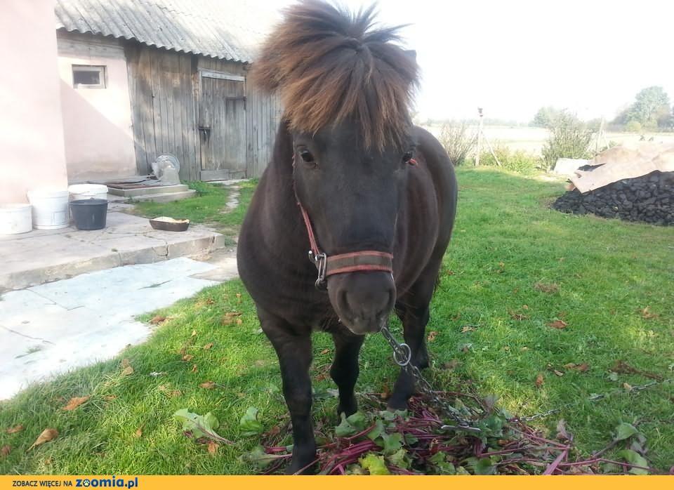Sprzedam konia Kucyka