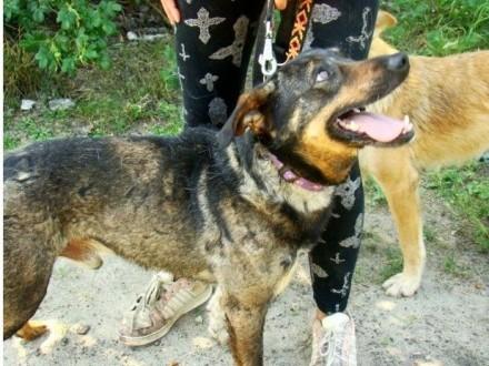 Wesoły przyjazny kontaktowy pies GORO średniej wielkosci 18 kg_Adopcja
