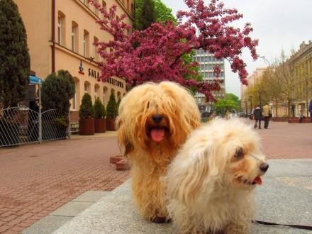 Hawańczyk ZKwP szczeniak pies nie Chihuahua york Coton Gryfon Lhasa maltańczyk toy papilon bichon shih trrier