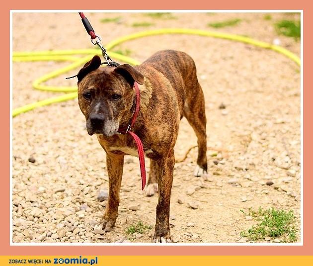 UWAGA! Nieufny do ludzi, do stróżowania, pies TAJSON_Adopcja